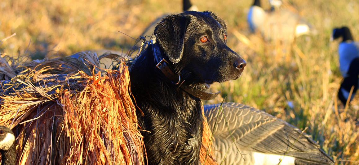 Southfork Retrievers | Dog Training WI and IL, Lab Breeder